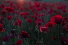 Tramonto sui papaveri (Luca Nacchio) Tags: papaveri rossi tramonto doro via cielo azzurro poppies reds sunset sky lightblue erba albero campo fiore