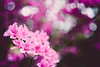 (wickedmartini) Tags: nature flowers blossom blossoms pink purple bokeh vintagelens blur spring bloom michaeldavignon