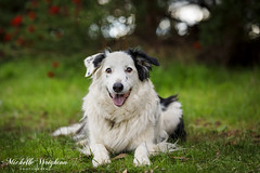 Border Collies (Michelle Wrighton Photography) Tags: dogs border collie pets animals canon 5d4 5div 70200mm28l