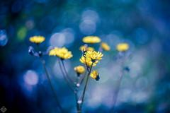 DSC01042 (mortelette.david) Tags: helios442 helios helios44258mmf2 442 m42 58mmf2 bokeh dof profondeurdechamp flou blur fleur flower color couleur sony sovietlens vintagelens manuallens sonya7ii sonyilce7m2 a7ii extérieur