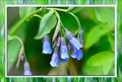 Blue bells (Karen McQuilkin) Tags: bluebells flowers framed wilds utah spring