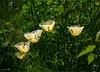 Califirnian Poppy (I think) (brianac37) Tags: flowers poppy californianpoppy