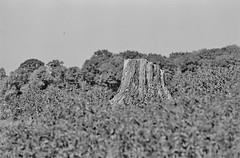 Stump (graemes83) Tags: pentax kodak eastman 5222 double x xx film 35mm 135 d96 black white monochrome