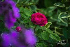 DSC_ (Anes Trebinjac) Tags: macro garden flower plant leaf butterfly soil priroda cvijet nikon d7500 18140mm