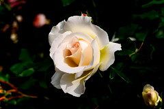 White Rose in Kamakura Museum of Literature : 白薔薇 (Dakiny) Tags: 2018 spring earlysummer may japan kanagawa kamakura hae outdoor freshgreen park garden museum kamakuramuseumofliterature plant tree flower rose white whiteflower macro bokeh