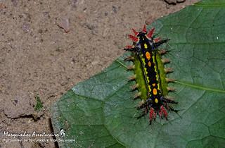 Lagarta - ID Help??? - Limacodidae
