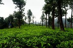 Munnar: Tea Garden (deepgoswami) Tags: india kerala munnar westernghats teagarden tea