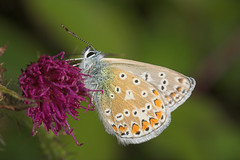 """Silver-Studded Blue (plebejus argus)(1) • <a style=""""font-size:0.8em;"""" href=""""http://www.flickr.com/photos/57024565@N00/207067796/"""" target=""""_blank"""">View on Flickr</a>"""