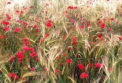 Poppies in Barley (Reciprocity) Tags: summer france film field barley june 35mm interestingness nikon fuji superia 200asa 2006 55mm jura poppies nikomat nikkormat printscan micronikkor franchecomte reciprocity champsigna