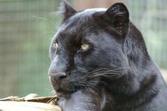 Black Panther (tim ellis) Tags: black animal cat leopard panther allblack carnivore santago msh0808 msh08085