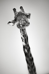 - bw giraffe zoo portrait