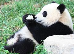 Lost in Fruitsicle World (somesai) Tags: panda tian tai nationalzoo endangered pandas meixiang taishan dczoo butterstick pandaunlimited