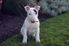 yeti29 (estenard) Tags: english puppy bull terrier yeti