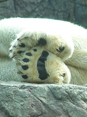 I love feet (tammyjq41) Tags: bear bears 2006 explore memory dare polar tickle colbert opinion permanent stevencolbert oldglory stephencolbert northcarolinazoo tjd animaladdiction abigfave scomp
