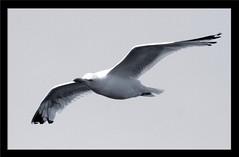 Seagull b/w (Moskitomaniac) Tags: bw canon eos zoom sigma tele sw 70300mm mybest nordsee eos350d greetsiel sigmalens interestingness384 i500 123bw 123faves mostcommentedpic18