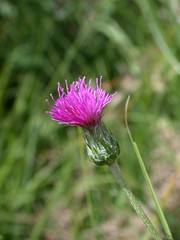 Meadow thistle - Cirsium dissectum - by --Tico--