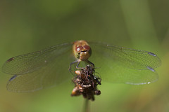 """Common Darter (Sympetrum striolatum)(11) • <a style=""""font-size:0.8em;"""" href=""""http://www.flickr.com/photos/57024565@N00/228390153/"""" target=""""_blank"""">View on Flickr</a>"""