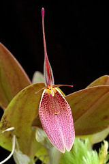 Restrepia chameleon (Eric Hunt.) Tags: pink orchid flower d70 orchidaceae spotted restrepia restrepiachameleon
