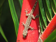lizard on red palm (Felix Francis) Tags: life red wild india nature kerala best palm lizard thrissur
