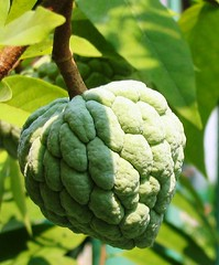 Sugar Apple or Sweetsop (Annona squamosa var. Thai-lessard)