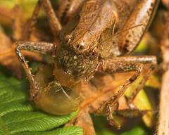 """Dark Bush Cricket (Pholidoptera griseoaptera) with Snail Prey • <a style=""""font-size:0.8em;"""" href=""""http://www.flickr.com/photos/57024565@N00/236023940/"""" target=""""_blank"""">View on Flickr</a>"""