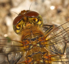 """Common Darter (Sympetrum striolatum) Dragonfly • <a style=""""font-size:0.8em;"""" href=""""http://www.flickr.com/photos/57024565@N00/236769017/"""" target=""""_blank"""">View on Flickr</a>"""