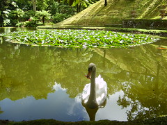 Swan, waterlilies (branka_arrive) Tags: swans waterlilies ponds azores furnas
