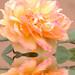 Rose Flood Photo 12