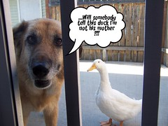 Will Somebody Tell This Duck I'm Not His Mother !! (juwee1) Tags: dog pet animal duck fdsflickrtoys funny cartoon waterfowl pekinduck featheryfriday gigglegram gigglegram2