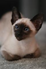 Portrait of Daisy #1 (Xenedis) Tags: daisy siamese cat sealpoint pet feline kitten animal newsouthwales nsw australia