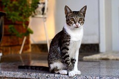 """There are few things in life more heartwarming than to be welcomed by a cat."" (-ViDa-) Tags: cats beautiful cat furry kitten feline tiger furball meaw furrball"