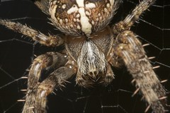 """Macro of a Garden Cross Spider (Araneus diadematus) • <a style=""""font-size:0.8em;"""" href=""""http://www.flickr.com/photos/57024565@N00/245387449/"""" target=""""_blank"""">View on Flickr</a>"""