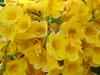 G' day!!! (marlenells) Tags: flowers yellow topc25 topv111 1025fav topv333 verdeeamarelo zoomzoom maringá topvaa lovephotography p1f1 naturesfinestalphabet