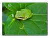 green frog (asawaa) Tags: color green nature topf25 topc25 topv111 510fav ilovenature leaf topv333 topv1111 small topv999 amphibian frog tiny everglades naturalworld bigcypress dscw7 sonydscw7 interestingness451 interestingness237 explored i500 livingworld views1000 specnature bigcypressnaturepreserve specanimal animalkingdomelite abigfave crawfordwilson interestingness043