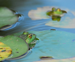 Frog Day Afternoon, Pt. 4...Frog Off (ozoni11) Tags: beautiful animal animals 510fav amazing cool fantastic nikon outdoor great maryland amphibian frog frogs d200 amphibians terrific animaladdiction bokehsoniceseptember bokehsoniceseptember18