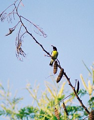A01555_019 (rawjeev) Tags: bird birds sunbird