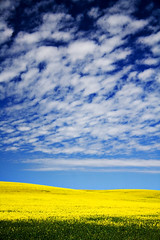 fields of gold (.ash) Tags: flowers sun colour field yellow clouds gold lenstagged interestingness bright australia ash polarizer southaustralia canoneos350d polariser canonefs1785mmf456is cotcmostfavorited views4000 september212006 redbubble thebestyellow favorites125