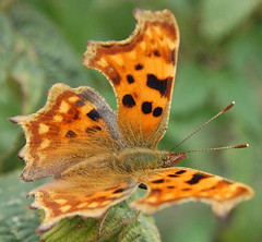 Comma Butterfly (Polygonia C-Album) (freebird4) Tags: uk butterfly d50 nikon shropshire oneyear polygoniacalbum commabutterfly specnature specanimal animalkingdomelite abigfave