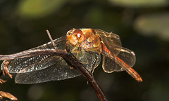 """Common Darter Dragonfly (Sympetrum s(19) • <a style=""""font-size:0.8em;"""" href=""""http://www.flickr.com/photos/57024565@N00/249199891/"""" target=""""_blank"""">View on Flickr</a>"""