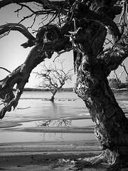 coolabah frame (liam.jon_d) Tags: australia southaustralia blackandwhite art trees coolibah oasis coongielakes australiannationalparks lakes wow worldwalkers 123bw mytopforty nationalpark innaminckaregionalreserve coongielake coolabah eucalypts eucalyptus eucalyptuscoolabah monochrome estratto конспект auszug abstrait extracto bw landscape australian blancinegre blancoynegro schwarzweiss noiretblanc paysage landschaft paesaggio ландшафт paisaje 风景 landschap 景色 白黒 pretoebranco biancoenero светотенево 黑白 blackwhite tws wilderness society wildernesssociety thewildernesssociety sa south campaign southaustralian popular 100 1000 500 blackandwhitelandscape bwlandscape 100mostinterestingblackandwhite twsimset pickmeset mostinterestingimset mostintblackwhiteimset popularimset mostinterestingsaimset mostpopularblackandwhites 100mostimset mostinterestingsouthaustralia 100mosthq