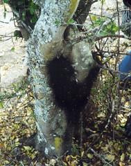 Opiliones, sierra Madre. file00202001.w
