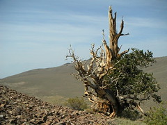 Bristlecone Pine (Christmas w/a K) Tags: california ca white mountains pine forest landscape ancient whitemountains nationalforest nv national valley bishop cy bristlecone owens owensvalley bristleconepine ancientbristlecone ancientbristleconepineforest ancientbristleconepine challengeyou challengeyouwinner cywinner