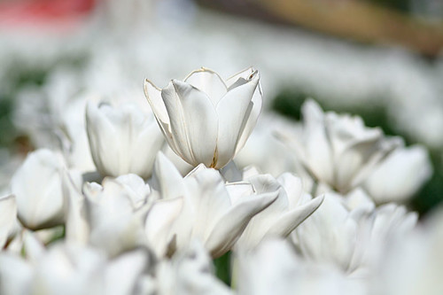 White Tulips by soundingblue