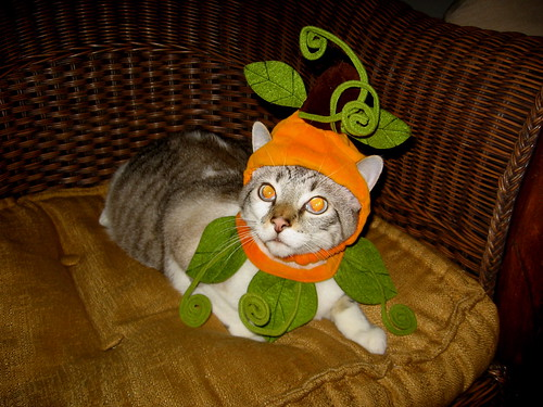 tucker pumpkin costume cat | Flickr - Photo Sharing!
