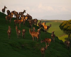 Hillside Herd (Catching Magic) Tags: newzealand farm country olympus deer waikato e300 tiraudan specanimals animalkingdomelite