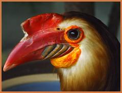 Mindanao Wrinkled Hornbill