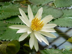 Seerose wei 2 (anniebaer) Tags: plant flower nature waterlily botanicalgarden faved wof