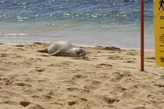 Hawaiian Monk Seal (808Talk) Tags: beach hawaii seal kauai beaches bestbeaches poipu poipubeach monkseal hawaiianmonkseal 808talk poipubeachpark
