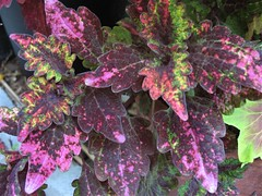 Coleus (Unknown from Target) Multicolored Leaves