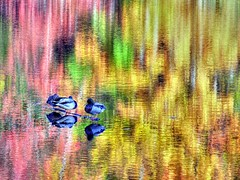a fowl fall (nj dodge) Tags: autumn lake reflection fall topf25 water colors birds log topf50 topf75 500v20f listeningto nj ducks foliage watchung topf100 hdr brucespringsteen thesmiths eriecanal iso50 louderthanbombs 1000v40f 115second thanksj 89mm nikonstunninggallery f74 133ev omarydontyouweep 35mm350mm world100f
